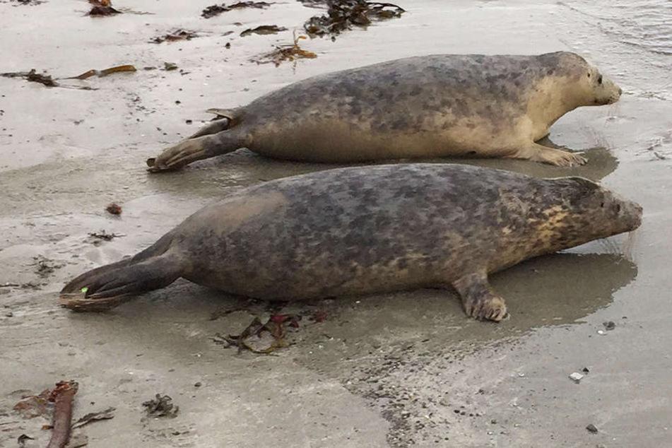 Ohne Kopf und Flossen: Entstellte Robben am Strand angespült