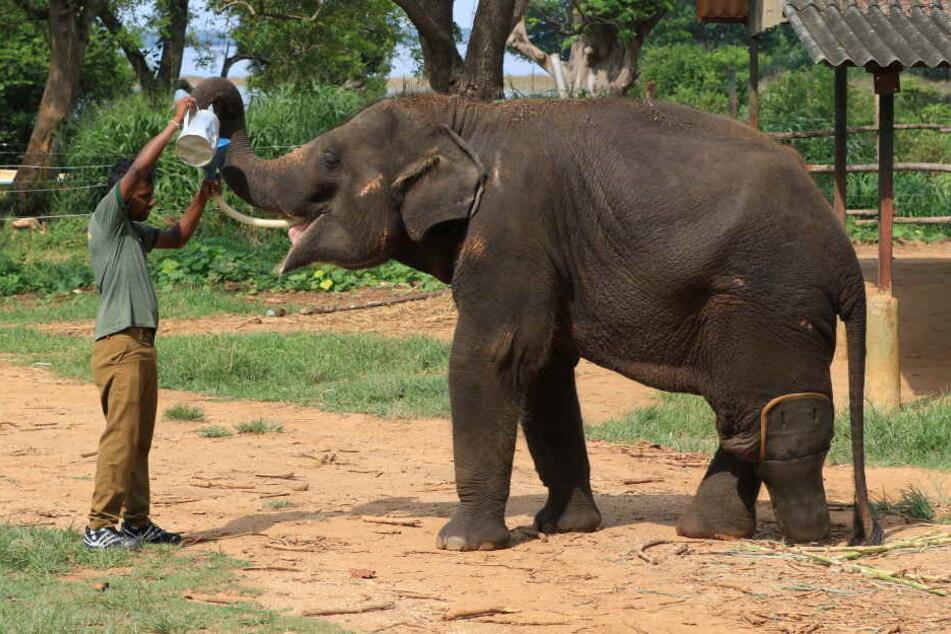 Der Elefant mit der Prothese soll jetzt ein neues Gehege erhalten, in dem er ein Zuhause findet.