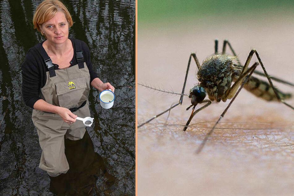 Schuld ist der Regensommer: Sachsen hat eine Mücken-Plage