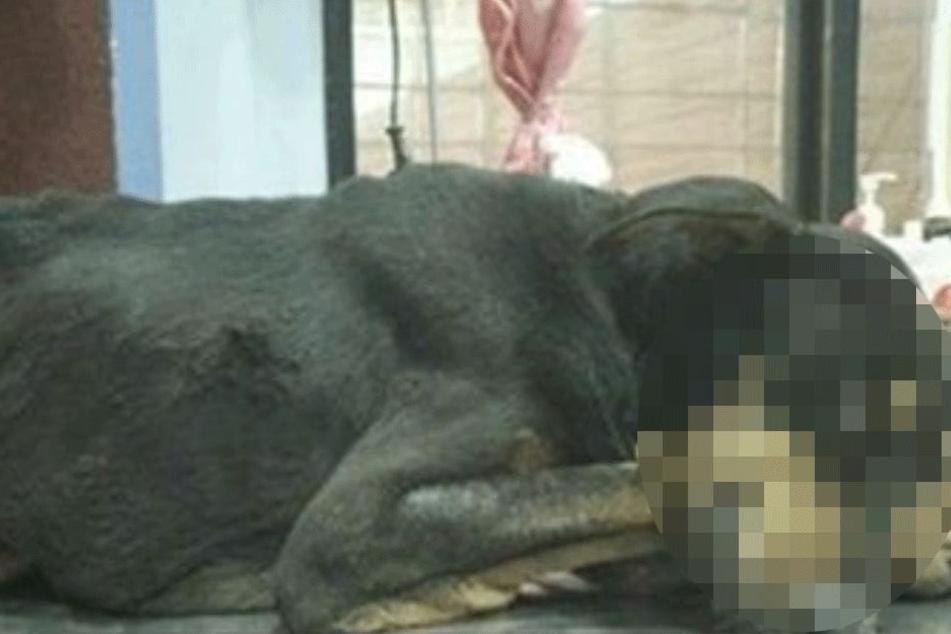Der Rüde erlag seinen Verletzungen beim Tierarzt.