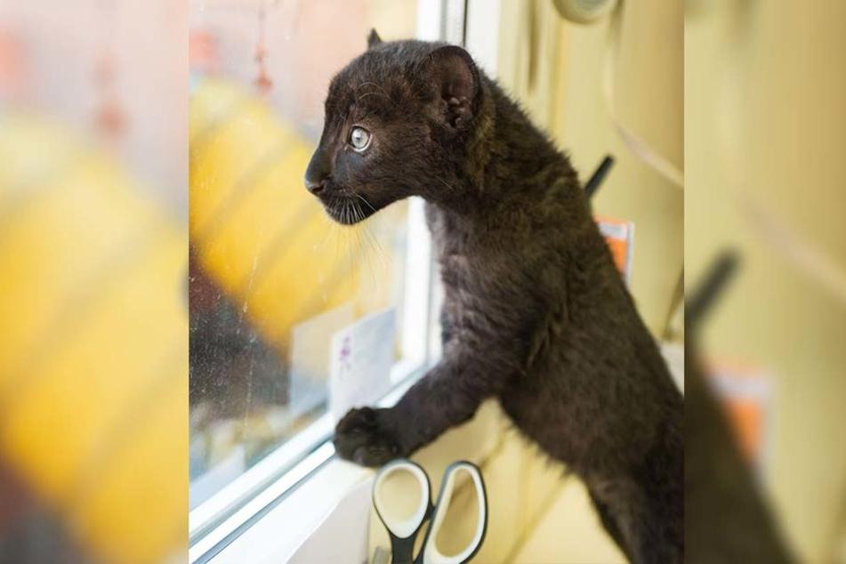 Neugierig schaut die schwarze Mini-Wildkatze aus dem Bürofenster.
