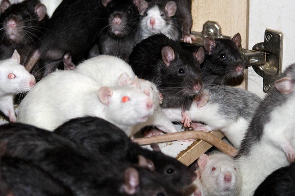 In der französchischen Stadt Roubaix soll eine wahre Rattenplage herrschen (Symbolbild).