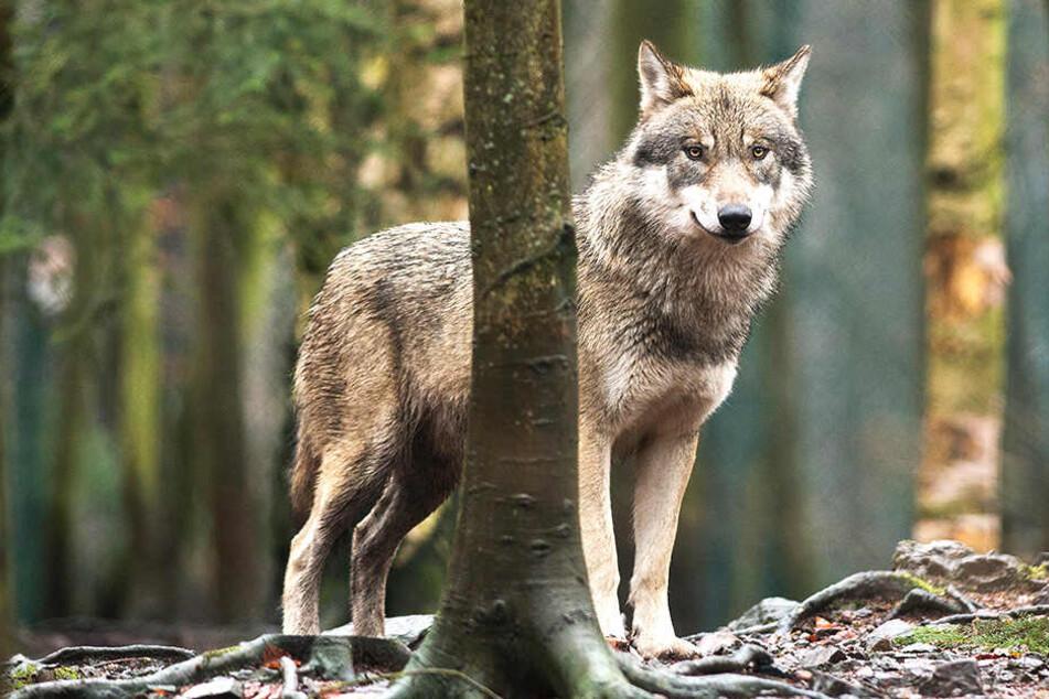 Erst kürzlich tappte das Tier im Erzgebirge in eine Fotofalle.