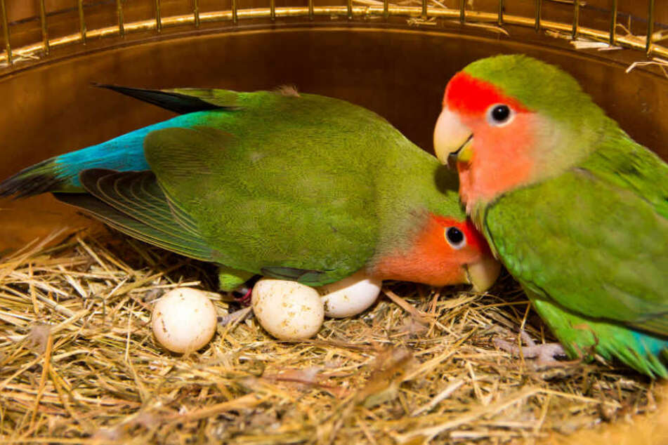 Das Papageien-Pärchen wurde in einer viel zu kleinen Voliere ausgesetzt. (Symbolbild)