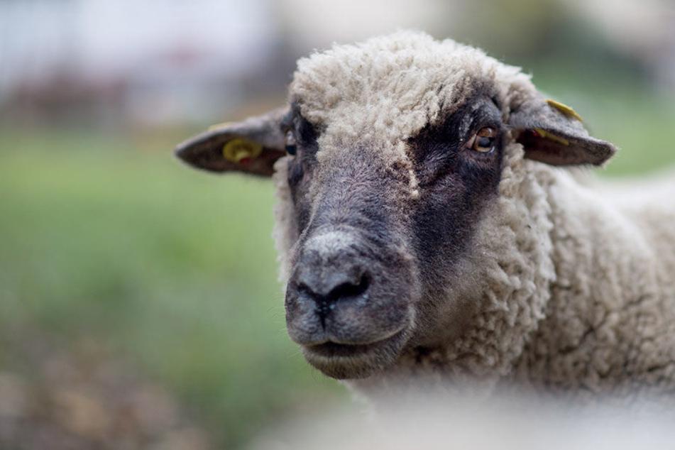 Das Muttertier wurde von den Tätern in der Nähe des Tierparks fachmännisch geschlachtet. (Symbolbild)