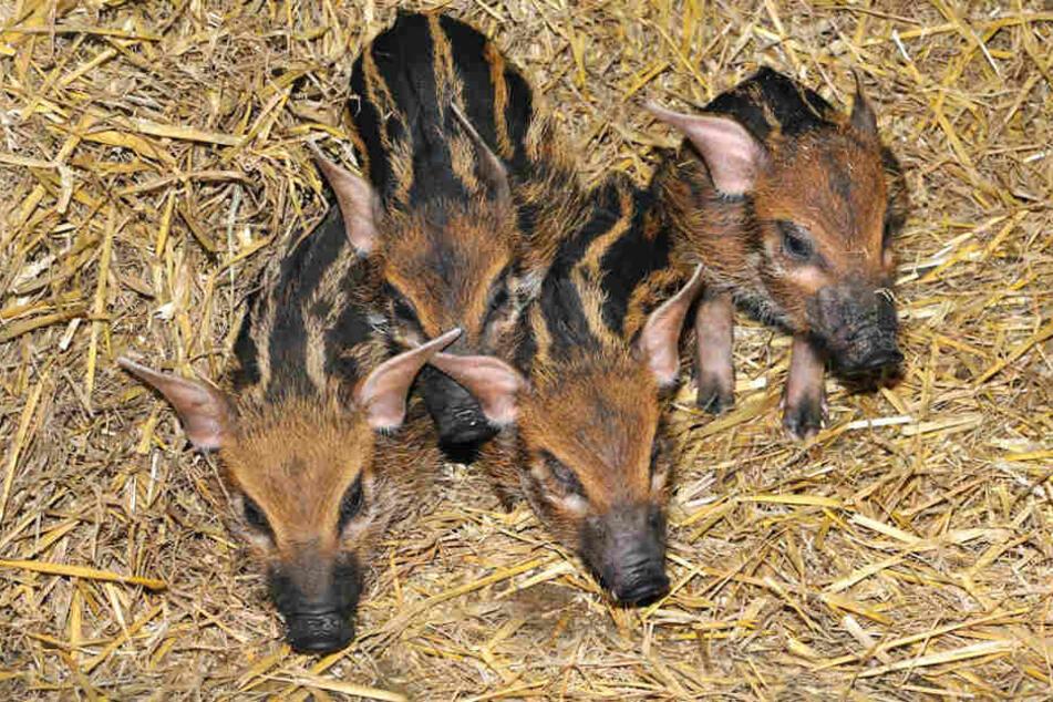 Kölner Zoo empfängt vier neue die Pinselohr-Frischlinge.