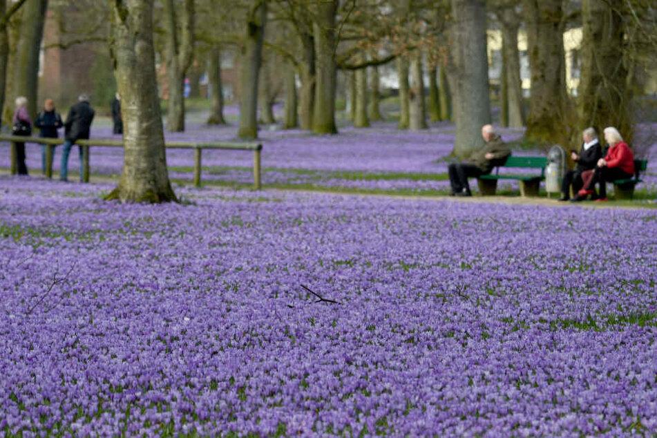 Ein Meer aus blühenden Krokussen bedeckt die Anlagen rund um das Schloss in Husum, Schleswig Holstein. Am Wochenende wird hier das traditionelle Krokusblütenfest gefeiert.