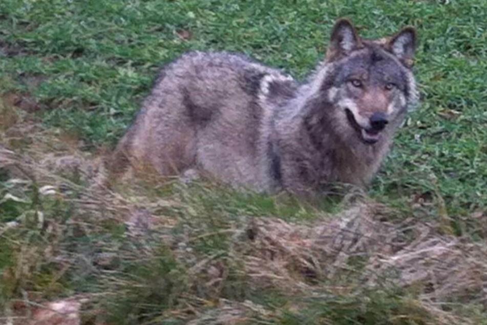 1000 Nutztiere von Wölfen gerissen: Bauernverband fordert Abschüsse