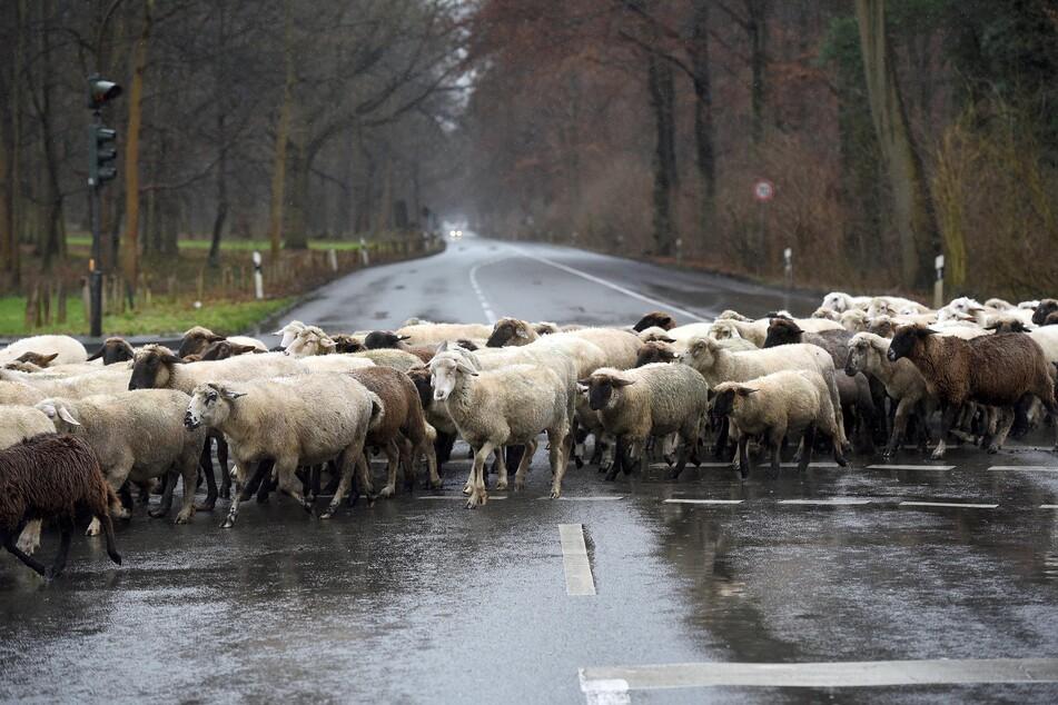 Beim Überqueren der B87 bei Taucha (Kreis Nordsachsen) ist ein Auto in eine Tierherde gefahren. 20 Schafe und Ziegen wurden tödlich verletzt. (Symbolbild)