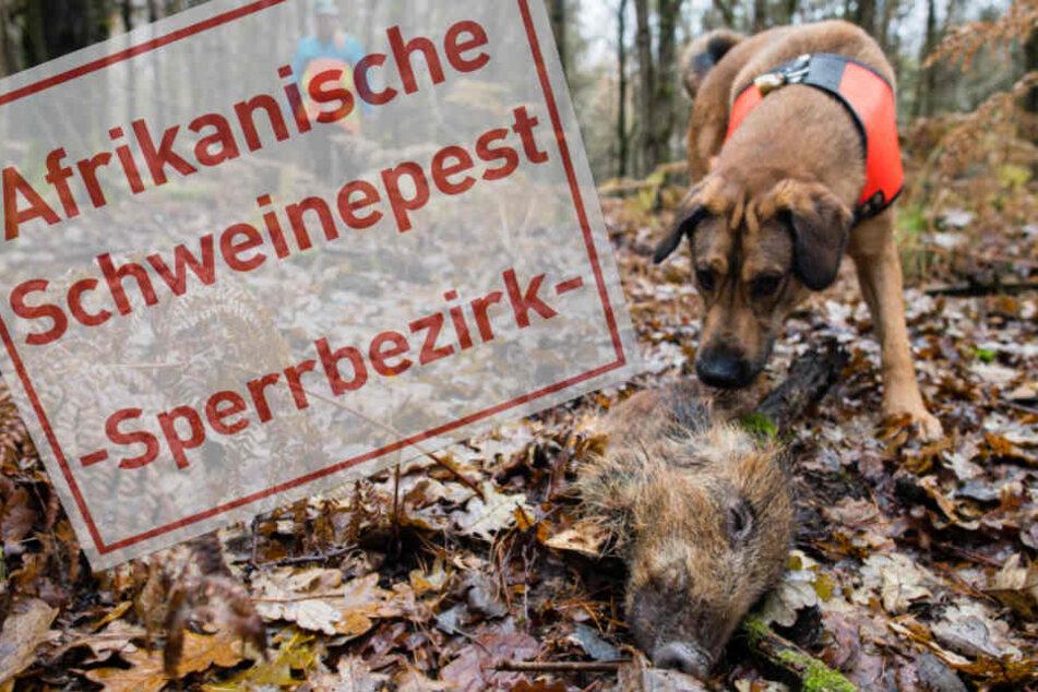 Seuchen-Alarm an deutscher Grenze: Schweinepest kommt näher!