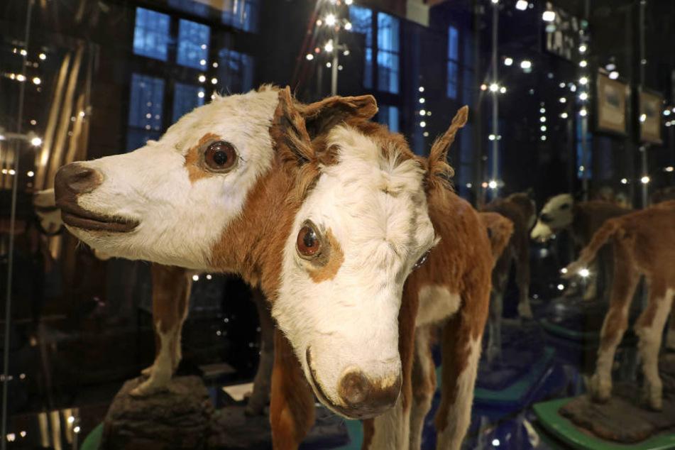 Das Kalb mit zwei Köpfen zählt zu den bekanntesten Stücken des Museums.