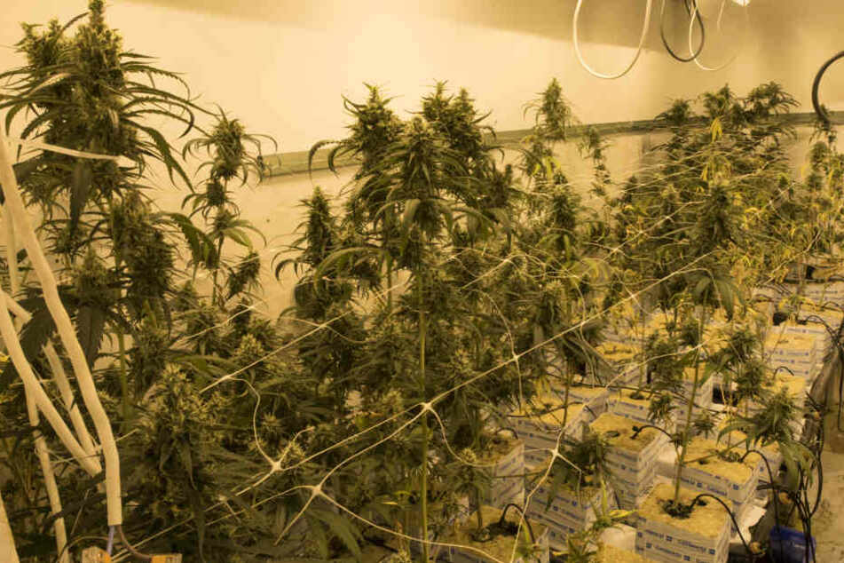 Die Ermittler fanden eine Drogenplantage.