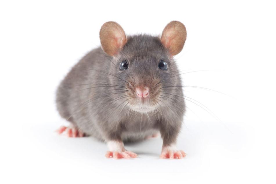Bei den Versuchen mit alternden Mäusen konnten die Forscher eine positive Wirkung von Cannabis auf die Gehirnfunktion feststellen. (Symbolbild)