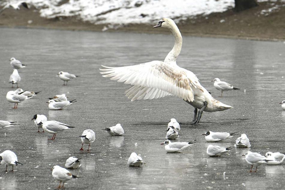 Teilweise frieren sogar Schwäne mit den Füßen am Eis fest. (Symbolbild)
