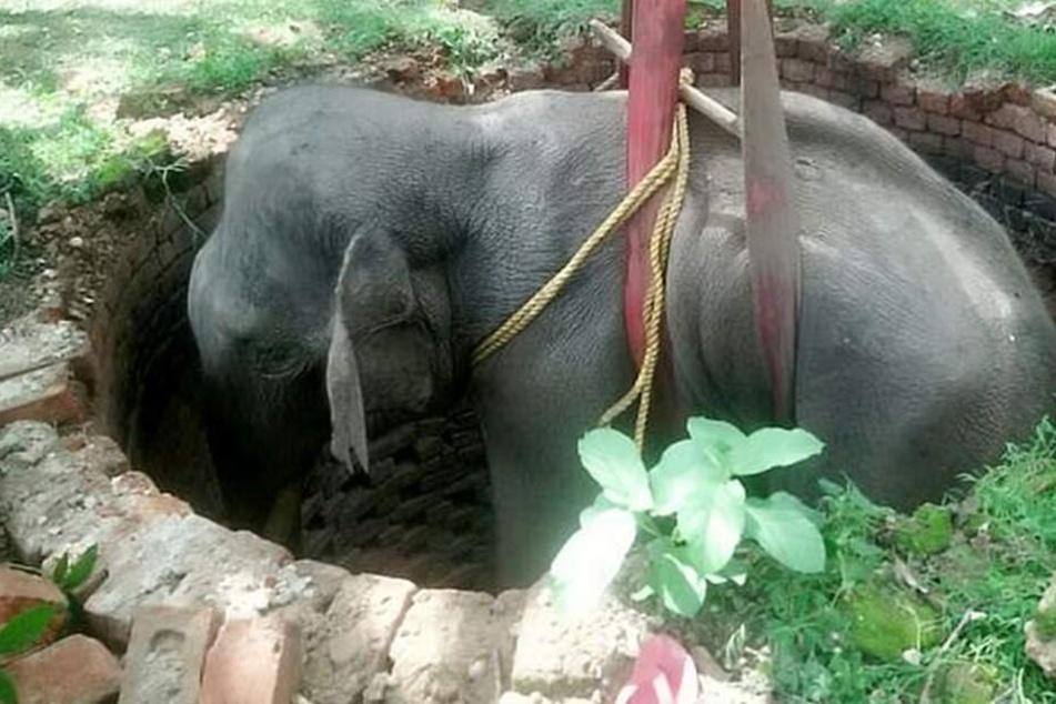 Der kleine indische Elefant wird aus dem Brunnen gezogen.