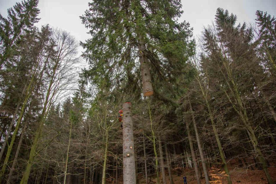 Der Baum wurde in halber Höhe abgesägt und vorsichtig mit einem Kran aus dem Wald gebracht.