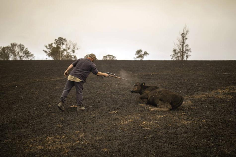 Steve Shipton erschießt ein verletztes Kalb seiner Herde, das durch ein Buschfeuer in Coolagolite im Bundesstaat New South Wales zum Teil bereits verendet ist.