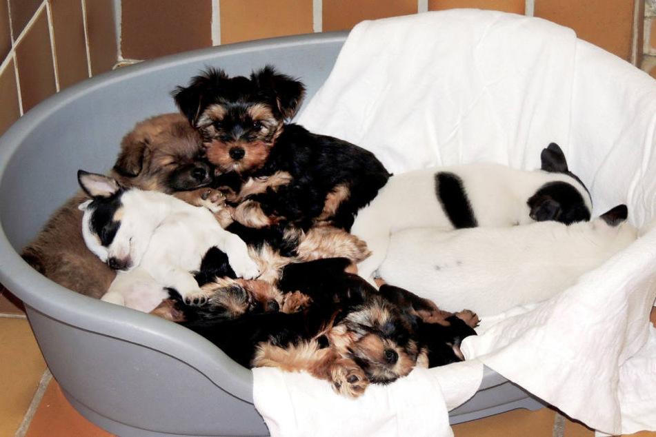 Illegaler Welpen-Transport: Vier Hunde und sieben Katzen tot