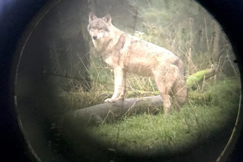 Neues Wolfs-Puffergebiet in NRW!