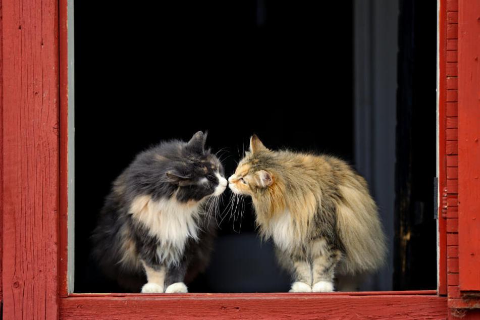 Die Norwegische Waldkatze: fellig, friedlich und freundlich