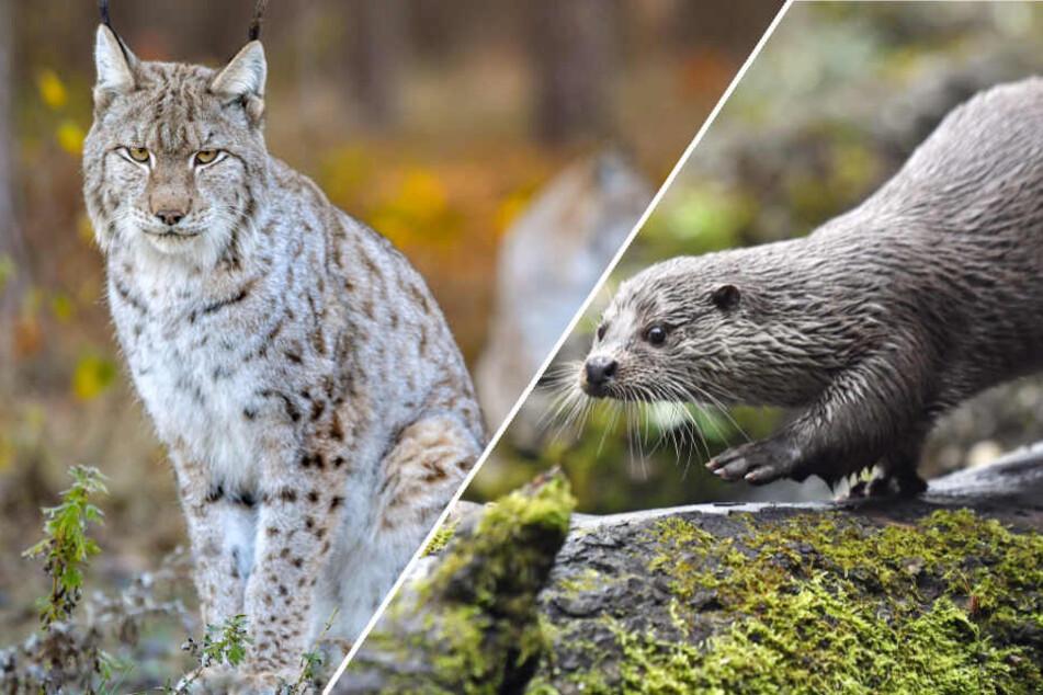Ob Luchs oder Fischotter: Viele Wildtiere fielen dem Jäger zum Opfer. (Bildmontage)
