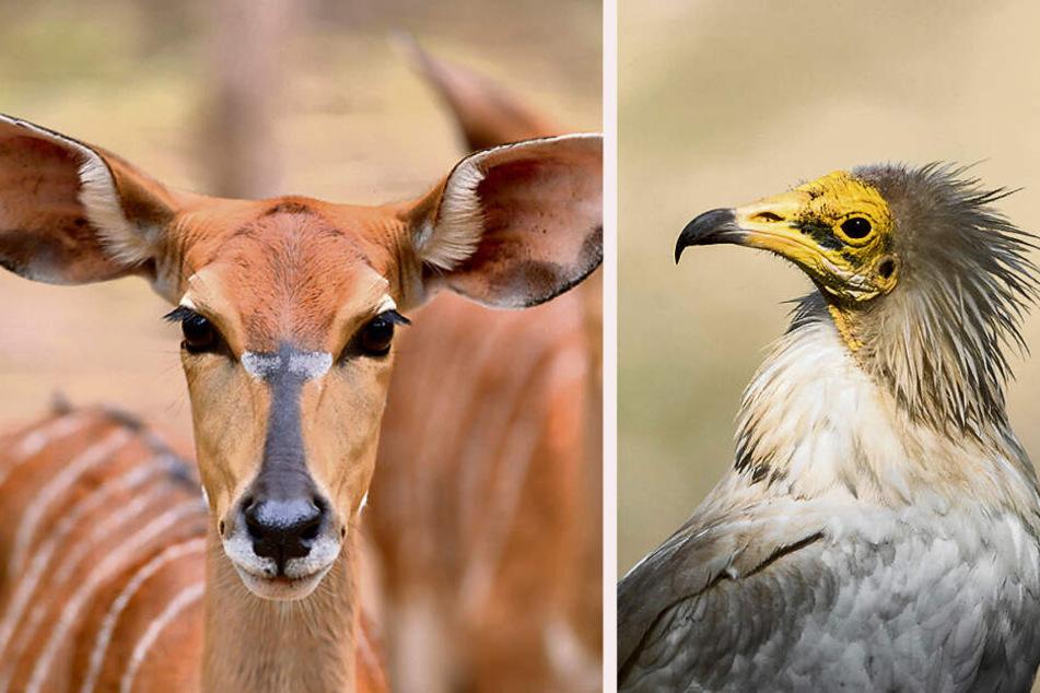 Wer will Pate werden? Auch Nyala-Antilopen (l.) und Schmutzgeier suchen noch solvente Gönner.