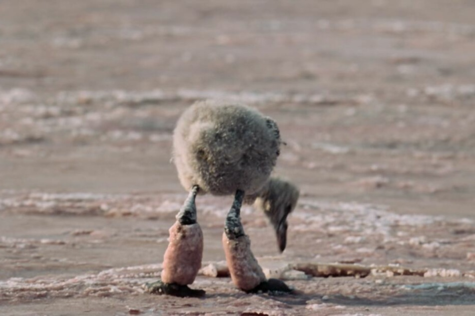 Der Baby-Flamingo hat dicke Salzklumpen an den Beinen. Diese Szene rührt viele User zu Tränen.