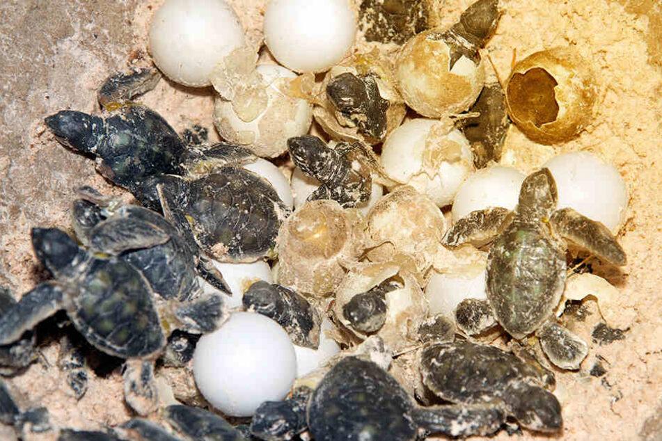 Die 41-Jährige wollte ein Gelege von geschützten Seeschildkröten zerstören.