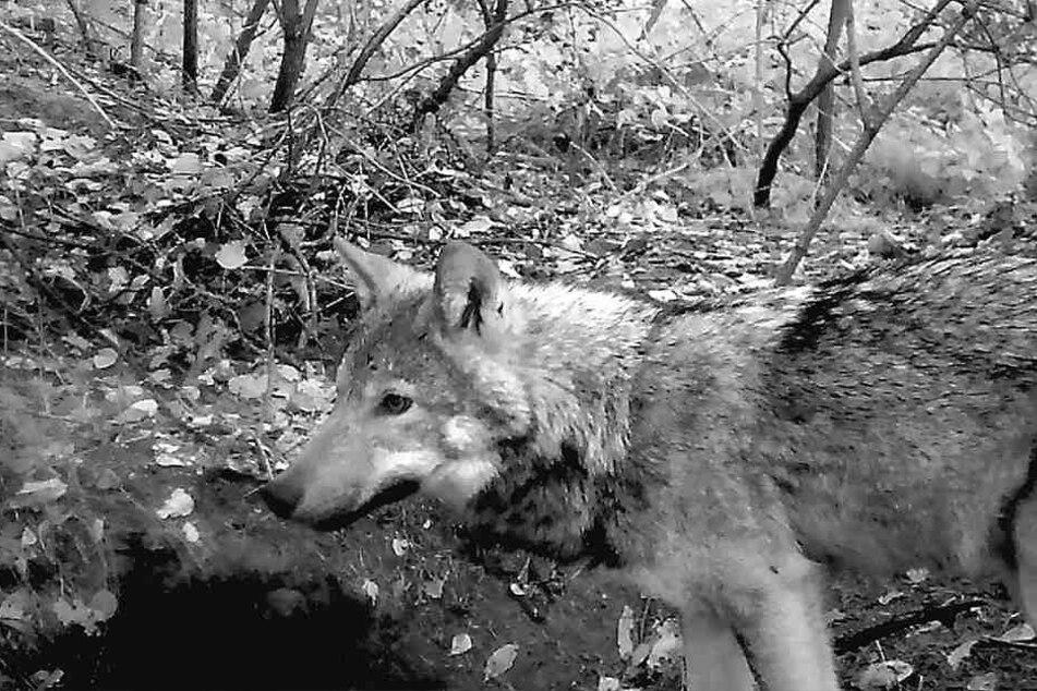 Erwischt! Dieser Wolf aus dem neuen Rudel tappte bei Dürrröhrsdorf-Dittersbach in eine Fotofalle.