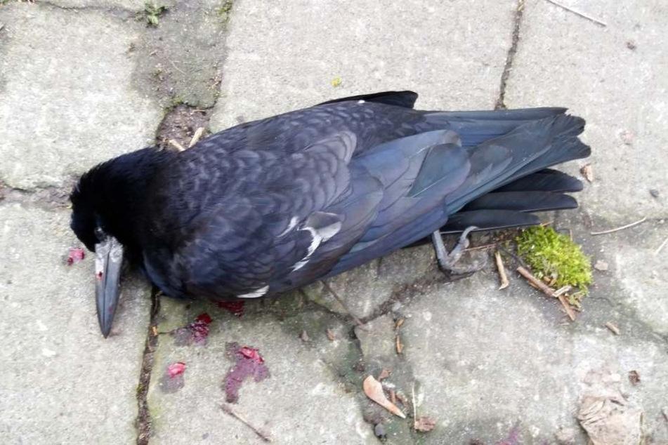 Eine erschossene Krähe, dokumentiert von NABU-Aktivisten.