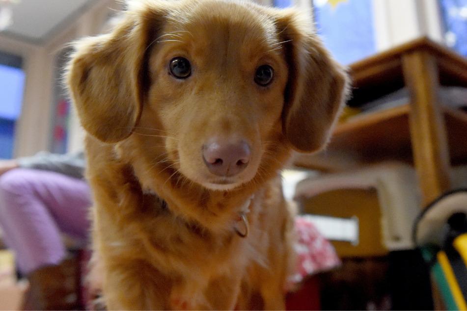 Ein Schulhund steht in einem Klassenzimmer. Die Kosten für die Tiere können Lehrer künftig von der Steuer absetzen.