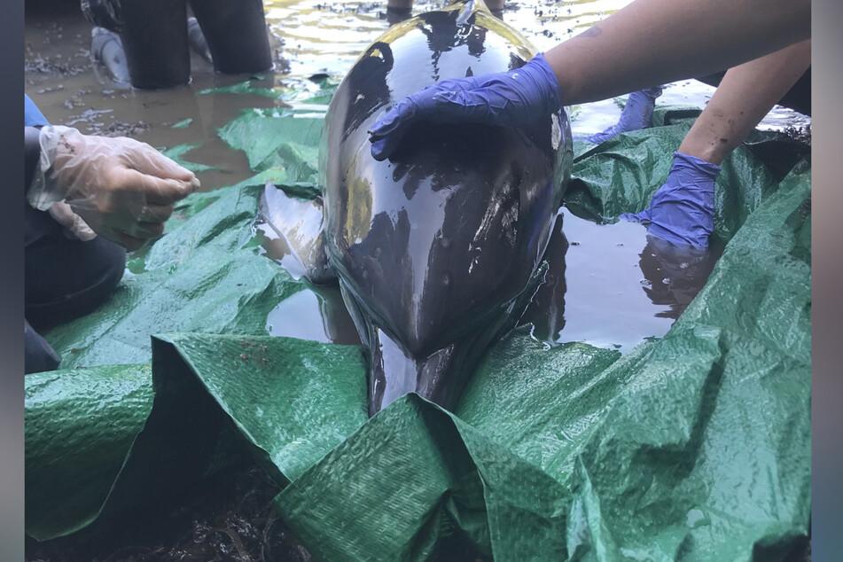 """Rettungskräfte der gemeinnützigen Einrichtung """"British Divers Marine Life Rescue"""" kümmern sich um den Delfin."""