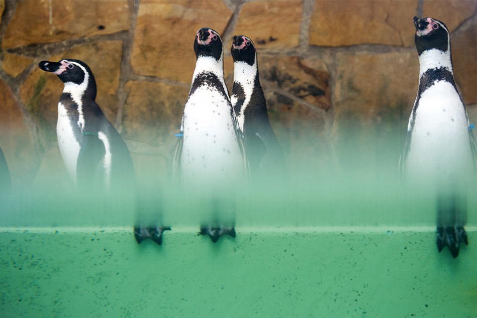 Die Humboldtpinguine sitzen während der Jahresinventur in ihrer Anlage.