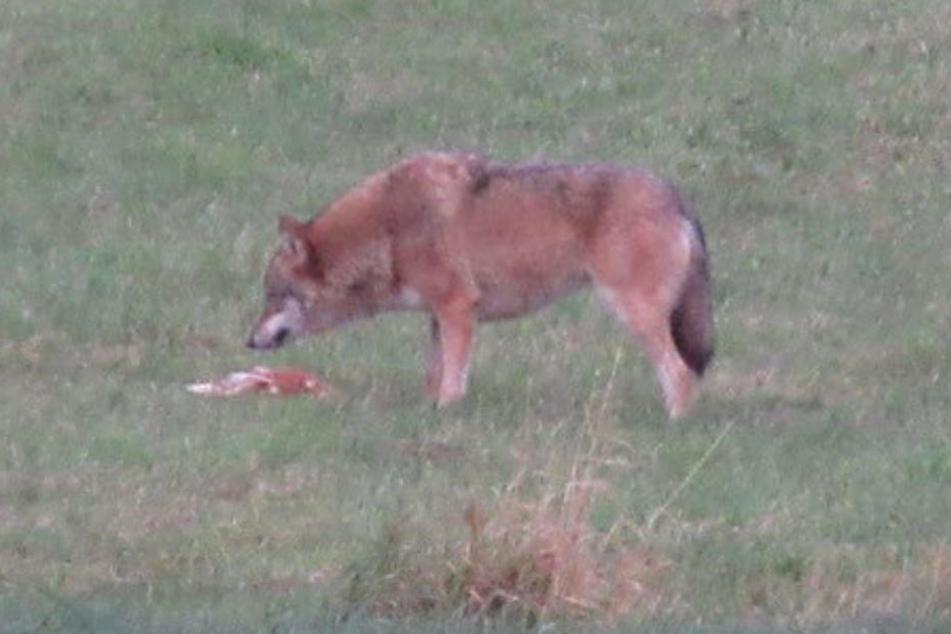 Ein Wolf steht am 20.11.2017 auf einer Wiese bei Bad Kreuzen in Österreich und frisst seine Beute, ein Hahn. Bei Bad Wildbad soll ein Wolf drei Schafe gerissen haben. (Archivbild)
