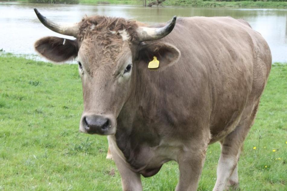 Die Polizei in Niederbayern sucht eine braune Kuh. (Symbolbild)