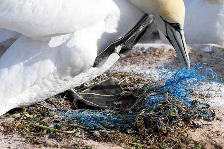 Ein Basstölpel verbaut in seinem Nest Plastikmüll.
