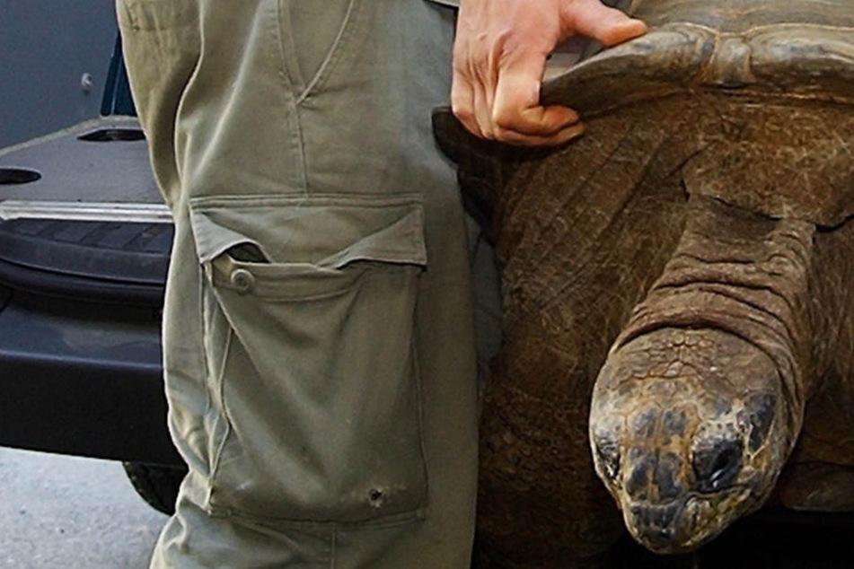 Tiefe Trauer im Zoo Dresden! Riesenschildkröte Hugo I gestorben