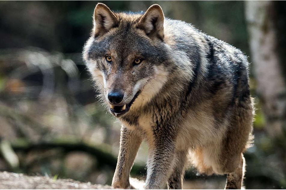 Ein rund drei Jahre alter und 100 Kilogramm schwerer Rothirsch ist offenbar von einem Wolf mit zwei Kehlbissen getötet worden.