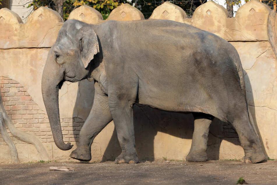 Elefantenkuh Thura ist am Dienstagmorgen in Leipzig verstorben.
