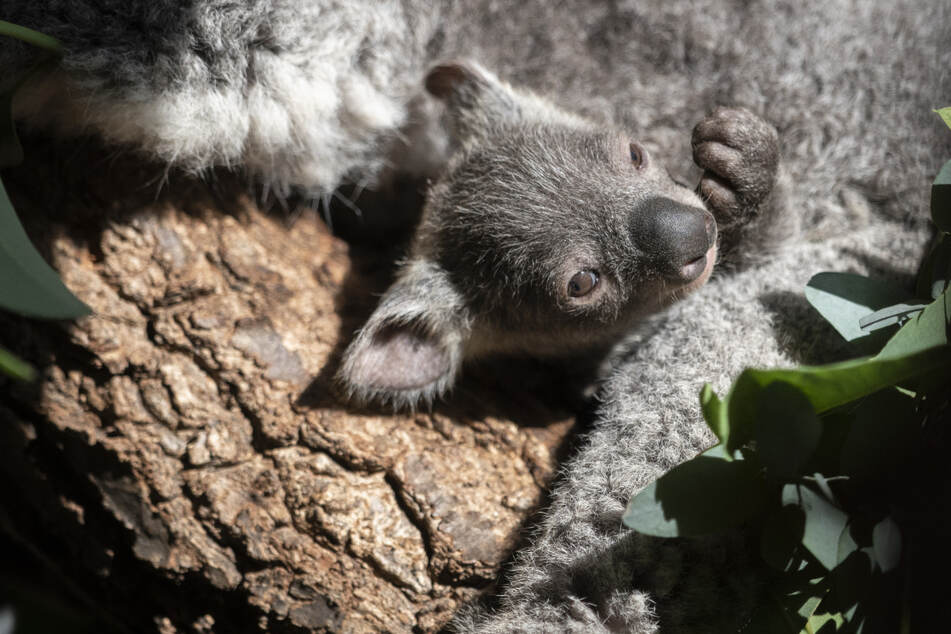 Das rund sieben Monate alte Koalababy Joey klammert sich an seiner Mutter.
