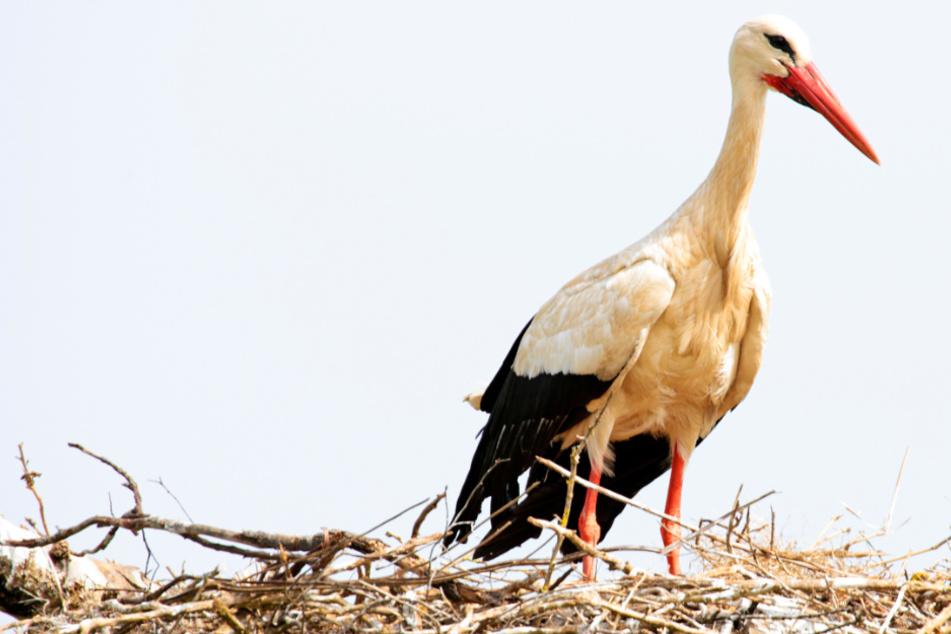 Storch verhungert trotz vollem Magen: Tierschützer mit traurigem Fund im Bauch des Tieres