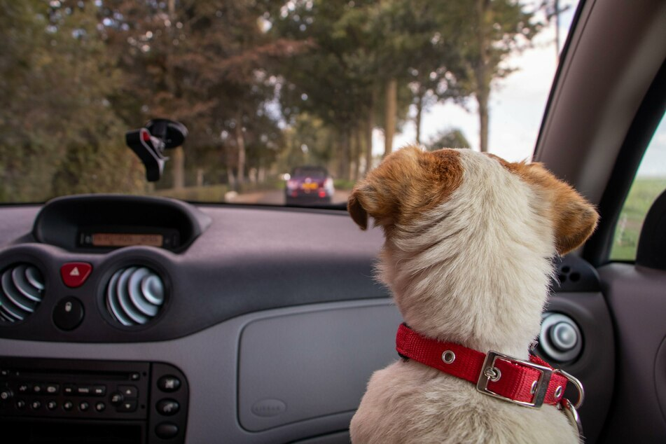 Ungesichert kann der Hund im Auto schnell zum Geschoss werden und die Fahrt behindern oder schwer verletzt werden.
