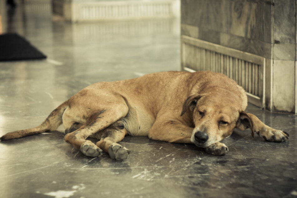 Der Hund stammt aus einer rumänischen Tötungsstation. (Symbolbild)