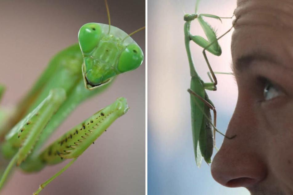 Mit ihren Fangarmen schlägt sie zu: Großes Raub-Insekt wird in Hessen heimisch