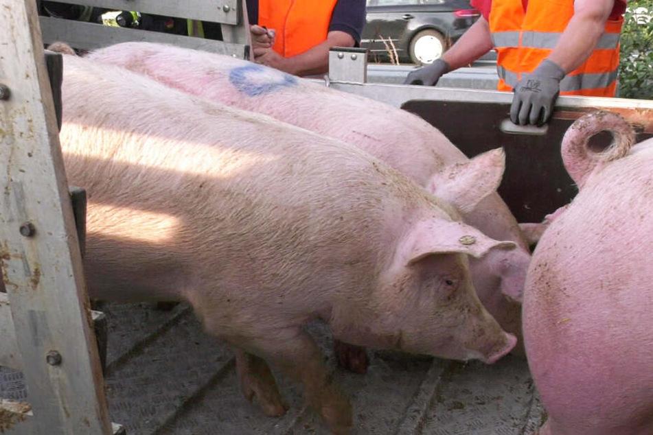 Die verunglückten Schweine mussten befreit und neu verladen werden.