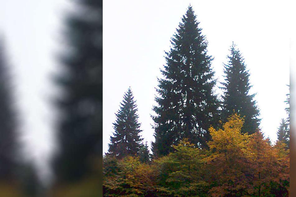 Das ist der Weihnachtsbaum für Chemnitz.