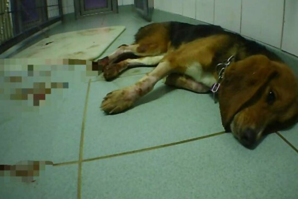 Ein Hund verendet qualvoll nach einem Versuch im LPT.
