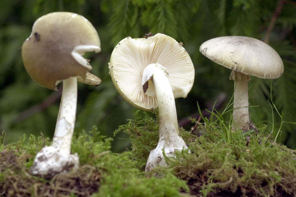 Grüne Knollenblätterpilze (Archivbild) sind äußerst giftig – und sehen Wiesen-Champignons verblüffend ähnlich.
