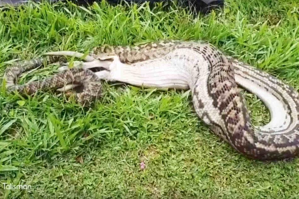 Die Python verschlang nach dem misslungen Fangversuch des Hundes lieber einen Wallaby.