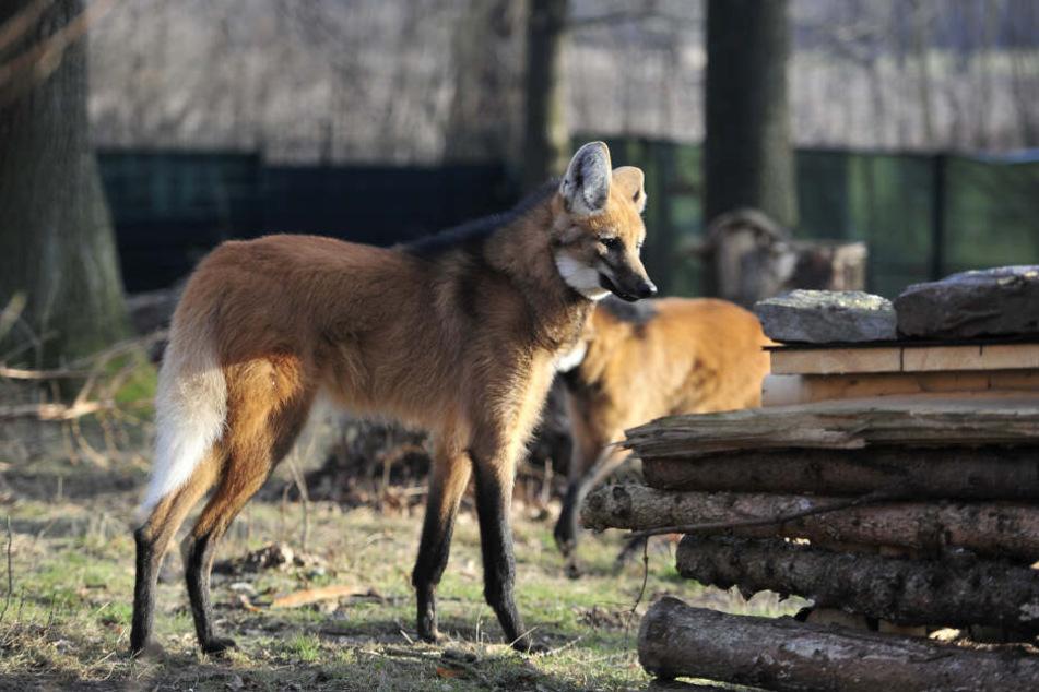 Die beiden Mähnenwölfe sind seit Jahresbeginn neu im Limbacher Tierpark.